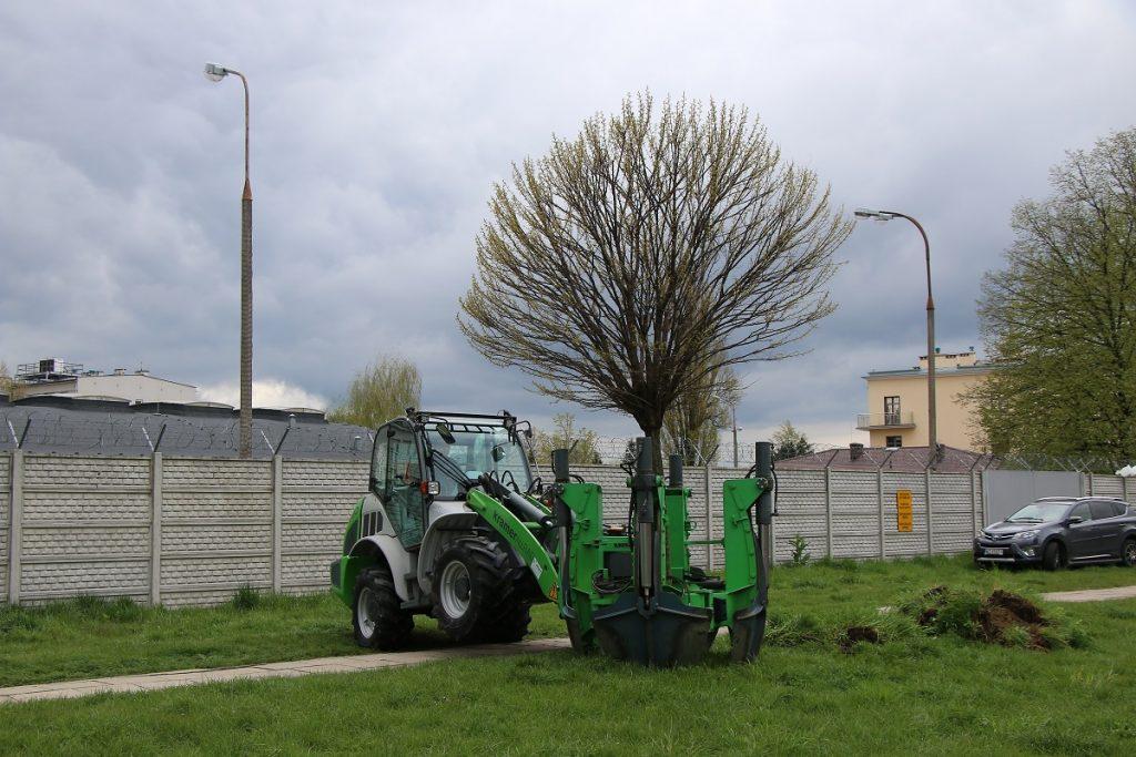 przesadzanie drzew w miejscu budowy nowej pętli autobusowej Ostroroga