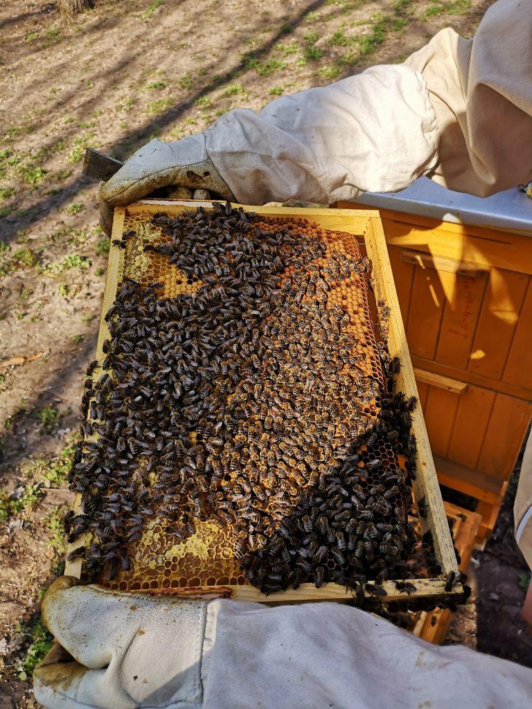 zdjęcie pszczół z pasieki SKM