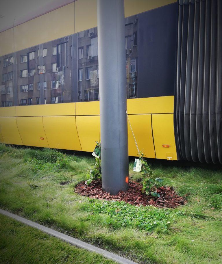 zdjęcie słupa tramwajowego z zasadzonym bluszczem